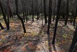 Burnt forest.jpg