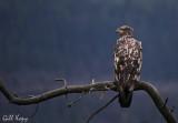 Eaglet2.jpg
