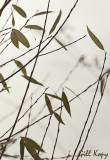 Willow leaves.jpg
