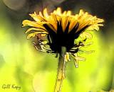 Sunlit dandelion.jpg