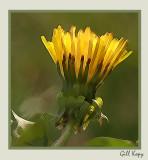 Sunlit dandelion2.jpg