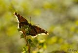 Spring butterfly.jpg