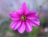 Bee n Cosmos.jpg