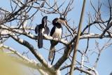 Malabar Pied Hornbill / Rajahnæsehornsfugl