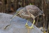 Striated Heron / Mangrovehejre, CR6F1777 15-12-2010.jpg