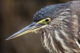 Striated Heron / Mangrovehejre, CR6F1816 15-12-2010.jpg