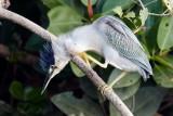 Striated Heron / Mangrovehejre, CR6F3303 17-12-2010.jpg