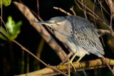 Striated Heron / Mangrovehejre, CR6F3644 18-12-2010.jpg