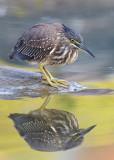 Striated Heron / Mangrovehejre, CR6F3707 18-12-2010.jpg
