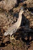 Striated Heron / Mangrovehejre, CR6F4699 19-12-2010.jpg