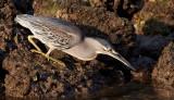 Striated Heron / Mangrovehejre, CR6F4706 19-12-2010.jpg