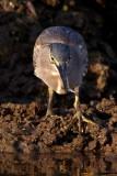Striated Heron / Mangrovehejre, CR6F4732 19-12-2010.jpg