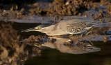Striated Heron / Mangrovehejre, CR6F4758 19-12-2010.jpg