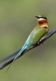 Blue-tailed Bee-eater / Blåhalet Biæder, CR6F9748 01-01-2011.jpg