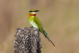 Blue-tailed Bee-eater / Blåhalet Biæder, CR6F207602-03-2012