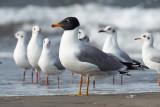 Great Black-headed Gull / Stor Sorthovedet Måge