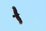 Indian Spotted Eagle / Indisk Skrigeørn