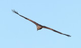Black Kite / Sort Glente, CR6F6476 09-03-2012.jpg