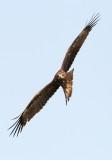 Black Kite / Sort Glente, CR6F7940 10-03-2012.jpg