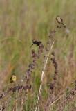 Yellow Wagtail / Gul vipstjert