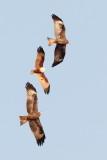 Black Kite / Sort Glente / Brahminy Kite / Brahminglente, CR6F0028 12-03-2012.jpg