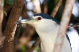 Black-crowned Night Heron / Nathejre