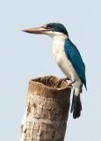 Collared Kingfisher / Grøn Isfugl, CR6F4421 05-03-2012.jpg