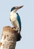 Collared Kingfisher / Grøn Isfugl, CR6F4453 05-03-2012.jpg