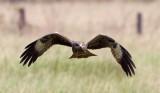 Black Kite / Sort Glente, CR6F0725 13-03-2012.jpg