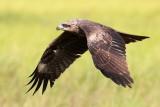 Black Kite / Sort Glente, CR6F0914 13-03-2012.jpg