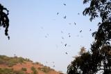 Black Kite / Sort Glente, IMG_8020 13-03-2012.jpg