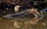 Striated Heron / Mangrovehejre, CR6F901022-12-2012.jpg