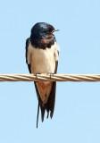 Barn Swallow / Landsvale