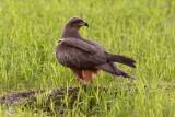 Black Kite / Sort Glente, CR6F002223-12-2012.jpg