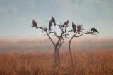 Black Kite / Sort Glente, CR6F005324-12-2012.jpg