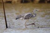 Grey Heron / Fiskehejre