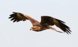 Black Kite / Sort Glente, CR6F202928-12-2012.jpg