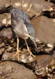 Striated Heron / Mangrovehejre, CR6F318503-01-2013.jpg