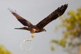 Black Kite / Sort Glente, CR6F420903-01-2013.jpg