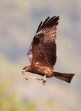 Black Kite / Sort Glente, CR6F502304-01-2013.jpg