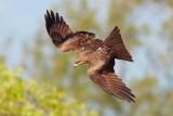 Black Kite / Sort Glente, CR6F560704-01-2013.jpg