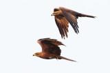 Black Kite / Sort Glente, CR6F929212-01-2013.jpg