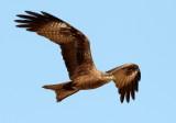 Black Kite / Sort Glente, CR6F080316-01-2013.jpg