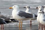 Heuglin´s Gull / Sibirisk Måge