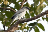 Large Cuckooshrike / Stor Gråfugl