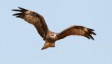 Black Kite / Sort Glente, CR6F0343, 25-11-2013, 1.jpg