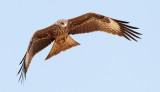 Black Kite / Sort Glente, CR6F0346, 25-11-2013,.jpg