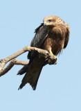 Black Kite Sort / Glente, CR6F1026, 28-11-2013.jpg