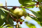 Pompadour Green Pigeon / Indisk Papegøjedue