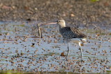 Eurasian Curlew Stor regnspove
